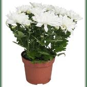 Chrysant herfstmix