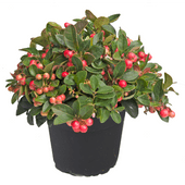 Gaultheria of cyclaam