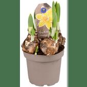 Voorjaarsbollen in pot