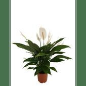 Bloemen Spathiphyllum