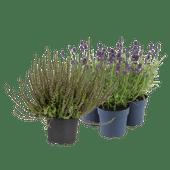 Calluna of lavendel